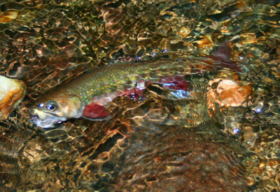 Brook Trout in Water