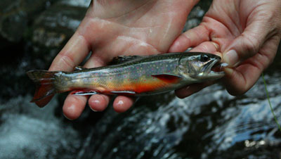 Brook Trout from the backcountry of the Tennessee Smokies