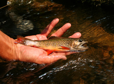 Backcountry brook trout from the Smokies in Tennessee