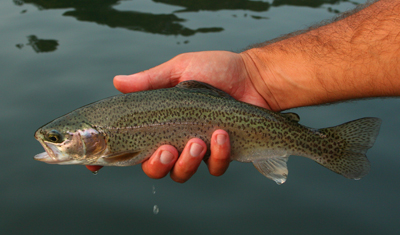 Hiwassee Rainbow Trout