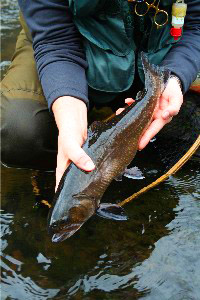 Big Brook Trout, Tuckaseegee River, North Carolina