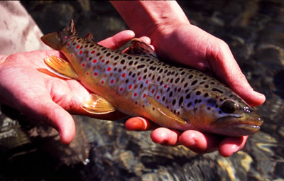 Autumn Brown Trout, Great Smokies, Tennessee