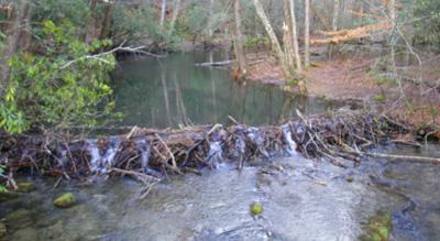 Beaver dam on Abrams Creek