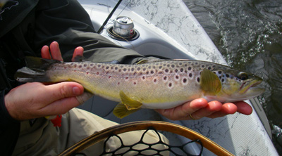Tuckaseegee River Brown Trout