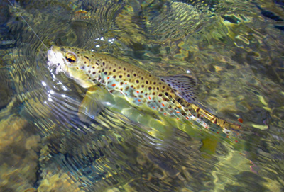Hooked brown trout coming in
