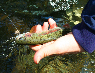 Rainbow trout caught by a fly fisher in the Smokies