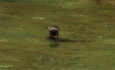 River otter on Little River, GSMNP, TN