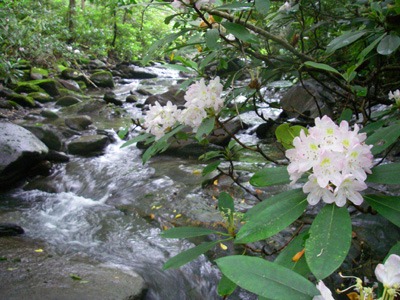 Blooming rhododendron along a trout stream, Great Smoky Mountains National Park