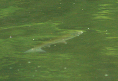 Rising trout sequence, 1
