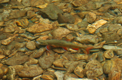Brook Trout in the River, Great Smoky Mountains National Park