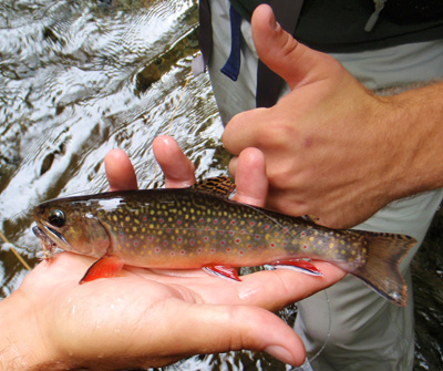 Brook trout in the Smokies