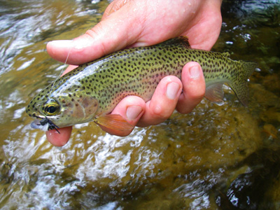 Rainbow trout with Elkmont Ant
