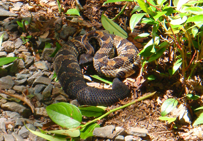 Timber Rattlesnake, Great Smoky Mountains National Park, Tennessee