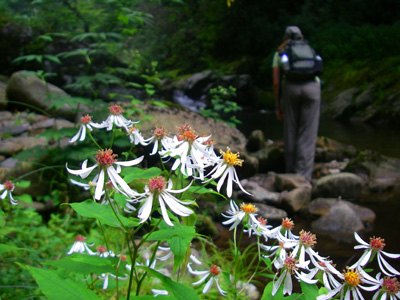 Wildflowers along a trout stream in the Smokies