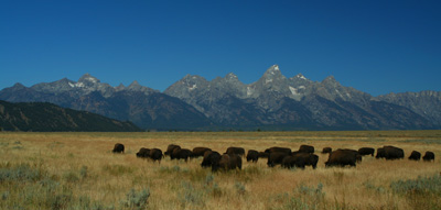 Buffalo Herd and the Tetons, Jackson Hole, Wyoming