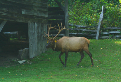 Elk in Cataloochee Valley, Great Smoky Mountains National Park, North Carolina