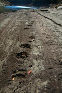Bear Tracks along Fontana Lake, North Carolina