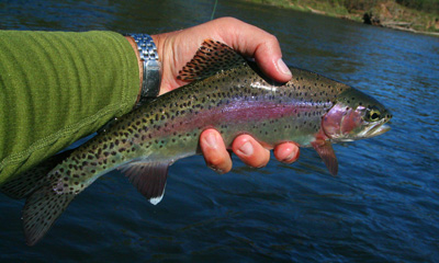 Clinch River rainbow trout