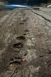 Bear Tracks along Fontana Lake, North Carolina