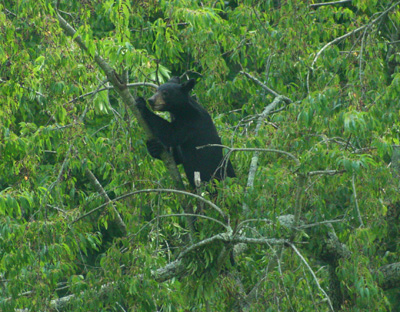 Black bear in a cherry tree