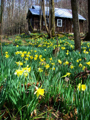 Daffodils at Elkmont