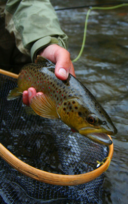 Little River Brown Trout