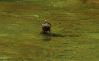 Otter in Little River