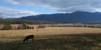 Deer graze in Cades Cove. It's always a pretty drive to a trout stream, but the drive to Abrams Creek is up there.