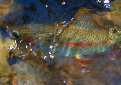 Rainbow Trout released