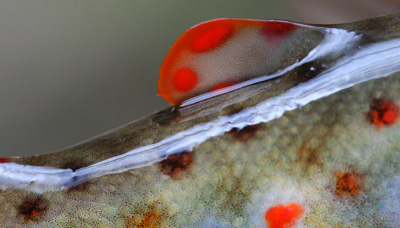 Your moment of zen: The bright red adipose fin of a Smoky Mountain trout.