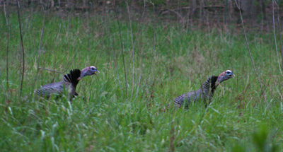 This pair of gobblers was our alarm clock on Hazel Creek. They were just across the stream from our camp each morning.