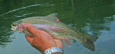 This rainbow was caught on a dry fly during an excellent Sulphur hatch on the Clinch