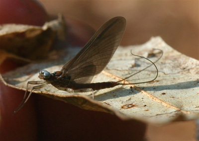 Perhaps Charity's best mayfly photo yet