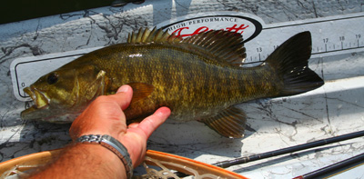 Chunky smallmouth bass with take poppers are small streamers in a variety of East Tennessee rivers and streams