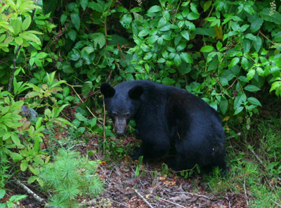 A black bear returns to the berry patch near our house