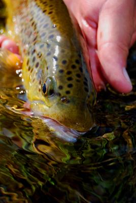 A Gibbon River brown trout