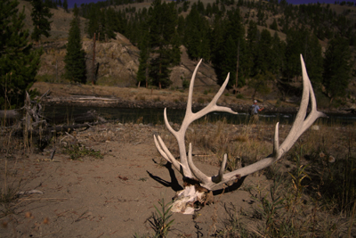 An elk skull along the banks of the Yellowstone River