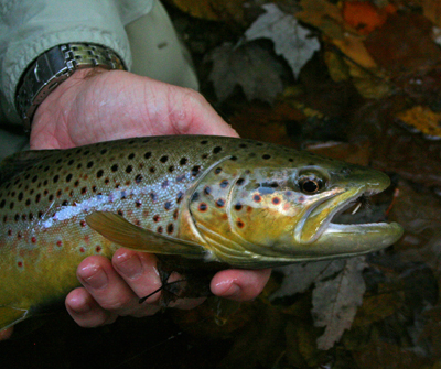 John Coley caught this beautiful wild brown trout in the backcountry on a dry fly, Little River, Great Smoky Mountains