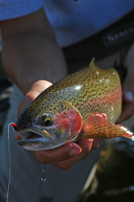 Craig lands a nice Madison River rainbow trout
