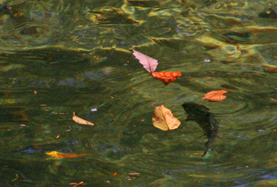 A trout rises among leaves drifting in the current