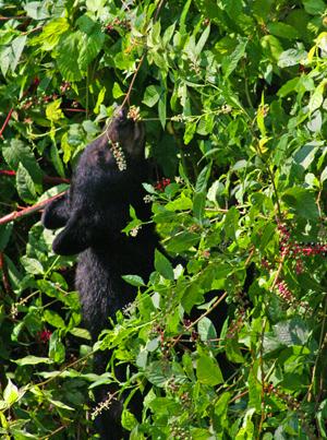 Black Bear Eating Poke Berries