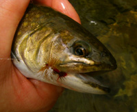 Brook Trout With Fly