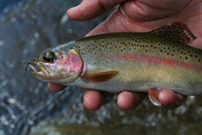 Spring rainbow trout during the Quill Gordon hatch, Great Smoky Mountains National park
