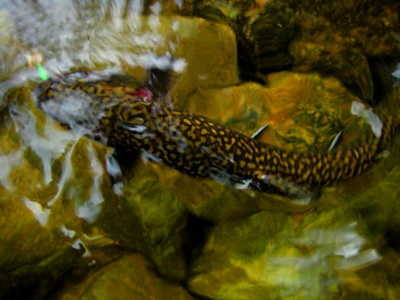 A beautiful picture of a brook trout from above