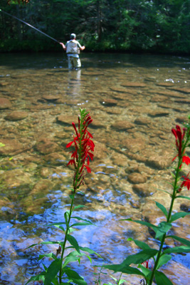 Casting terrestrials on Little River mid-summer, Great Smoky Mountains National Park