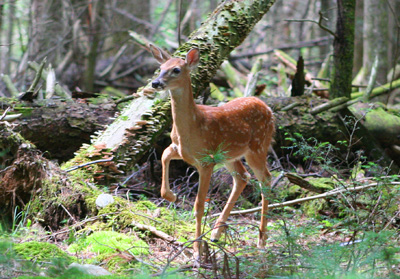 A curious deer fawn edges closer to investigate fly fishers on Abrams Creek, Great Smoky Mountains