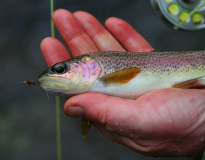One of the many rainbow trout Tim Wilson caught in the Smokies