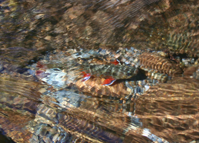 One of our favorite things: Colorful Smoky Mountain brook trout