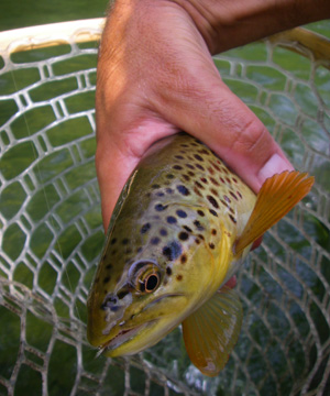 Nice brown trout during the Sulphur hatch on the Clinch River, TN