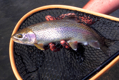 Fat rainbows can be caught on the Clinch and Holston in the late winter